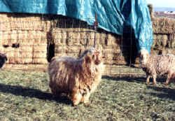 Brook's Dandy - Red Brwon Angora Buck for sale