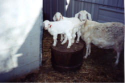 Triplets - half Nubian and half Angora - for sale at 2JP Ranch