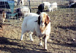 Full Blood Boen Buck - Tuffy for sale